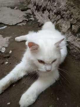 Kucing persia jantan warna putih umur 1.3 tahun