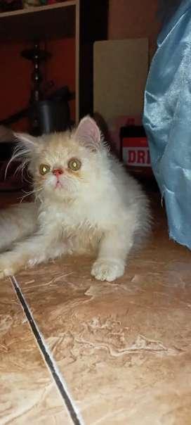 Kucing Persia peaknose pesek 3bl jantan bulu kapas guimbul pol