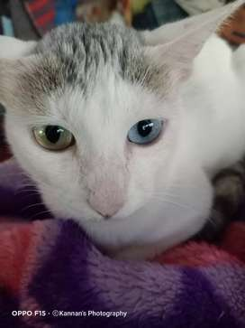 Indian Heterochromia cat