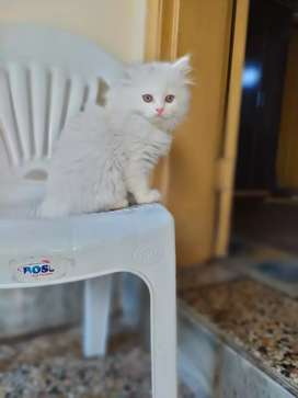 Russian cat for sale urgent 5 mnths age