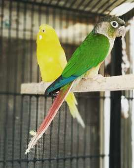 conure pineapple for sale