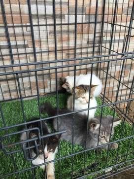 Kitten persia mixdome