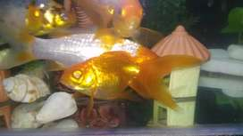 Gold fish and cocktail