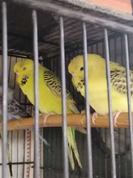 Tcb Exibitin breeder pair with Eggs and 6 adult piece