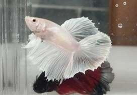 Ikan Cupang Hias HALFMOON DUMBO EAR WHITE