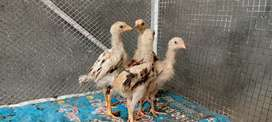 Chicks of aseel hen with discount