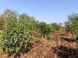 600 sq.yards Farm land available Near Gummadidala,Ramreddibavi Village