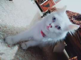Cat for sale persion female doll face