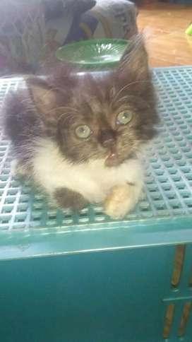 Kitten persia himalaya