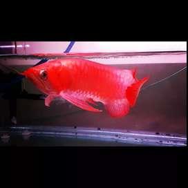 Arwana Super Red  setan merah