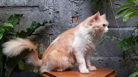 kucing persia medium bicolor orange betina lucu