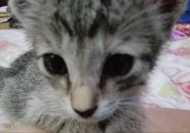 Egyptian Mau Kitten two months old