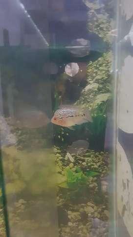 Ikan louhan ukuran 4 cman
