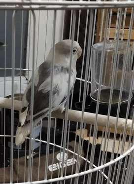 Lovebird bs mouve