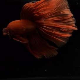 Ikan Cupang Hias Berkualitas Halfmoon Orange Bigtail