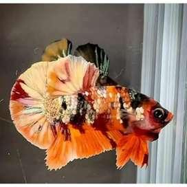 Jual murahh !! Ikan cupang nemo cooper gold