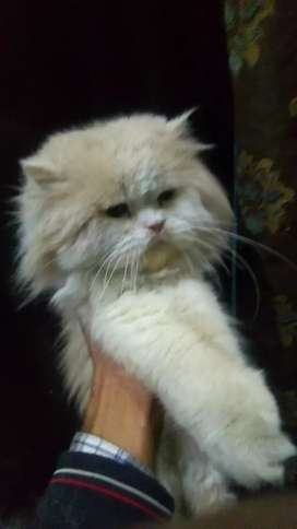 persian cat punch face