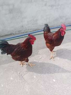 RIR rooster astralorp rooster desi egg laying hens for sale