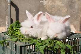 Beautiful english angora rabbit bunnies imported pure breed