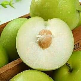 Bibit apel india(putsa)