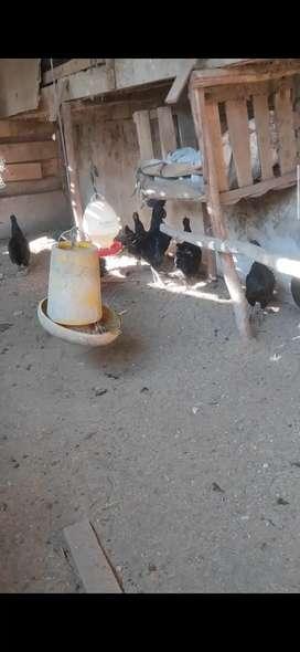 Ayam cemani indukan