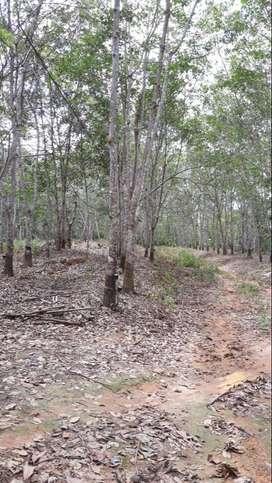 KEBUN KARET 25 Hektar - DIJUAL MURAH DAN CEPAT. NEGO SAMPAI JADI