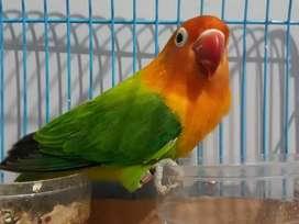 Lovebird Biola Green Split PB