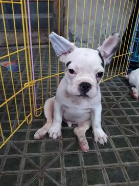Buldog Prancis / French Bulldog