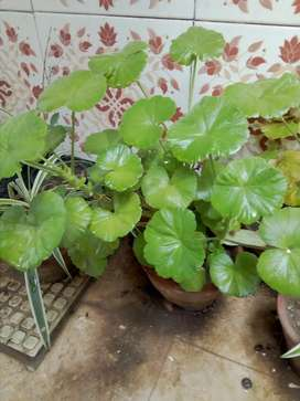 Plant For Sale  Vip Plant Ha  one Plant  250