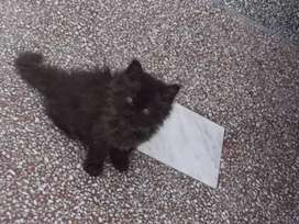 Pure perciancan cat breed for sale in only  11000