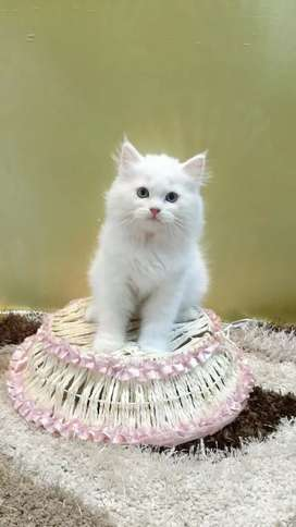 Furry Persian kittens available