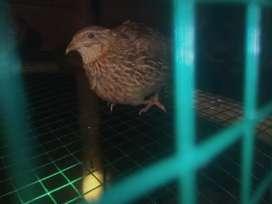 Burungpuyuh sudah bertelur,jadi baru beli besoknya udah panen telurnya