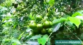 Kebun Jeruk dan kebun kopi