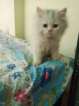 1 month female white Persian only 1kitten available
