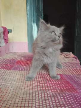 kittens in sukkur