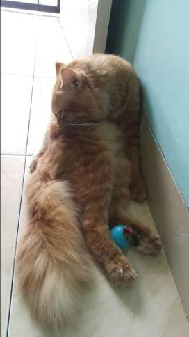 Lepas adopsi kucing persia gagah & tampan