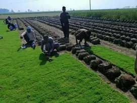 Fresh grass in wholesale price delivery all over pakistan