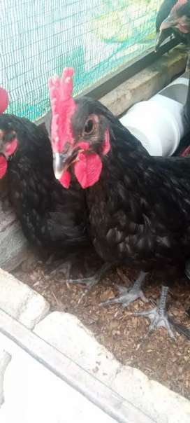 Astrolop chiks for sale