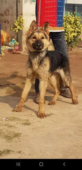 German Shepherd dog mail 5 months for sale