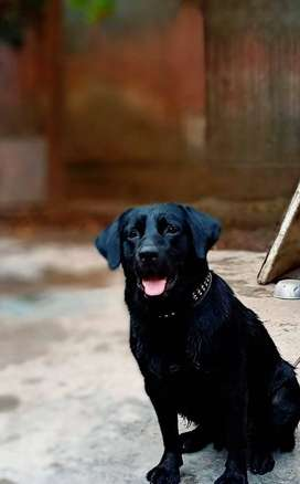 Male Labrador Retriever Stud for Breed