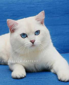 Kucing british shorthair silver shaded point