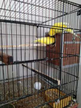 Exhibition parrot red eye
