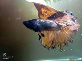 Golden Betta/fighter fish