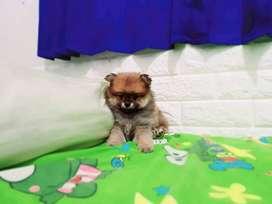 Jual anjing Mini Pom Lucu dan Murmer