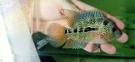 Ikan louhan cilnong