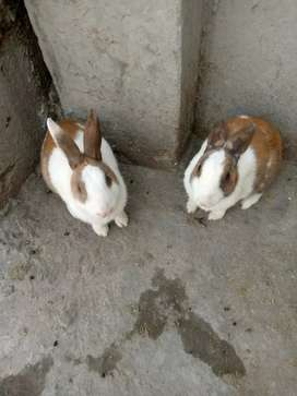 Healthy brown rabbit pair