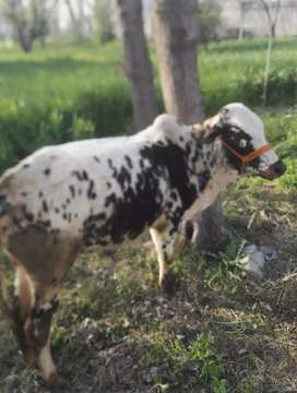 Cow (2male) kulba