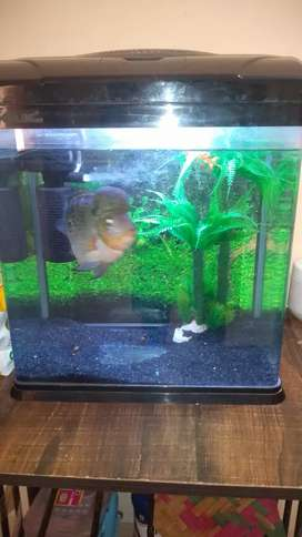 "Chinese fish aquarium with 4"" Flowerhorn fish"