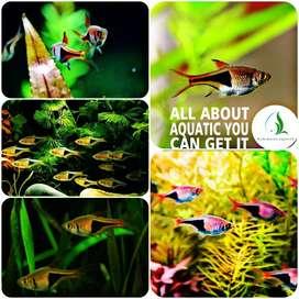 Ikan rasbora harlequin untuk aquarium dan aquascape