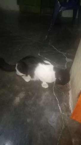 Kucing berat 3 kg lebih